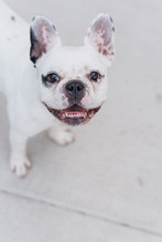 French Bulldog Smiling