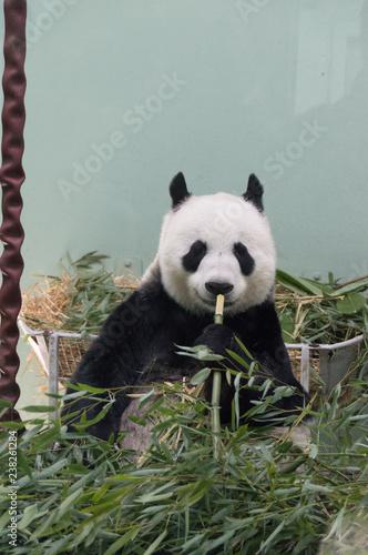 Stickers pour porte Panda giant panda eating bamboo