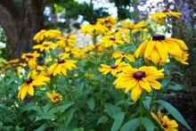 Close Up Of A Black Eyed Susan In The Garden