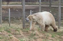 Polar Bear In Zoo