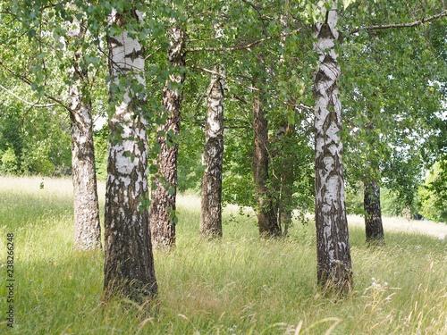 Fototapeta premium Brzozy z czarno-białą korą i zielonymi liśćmi