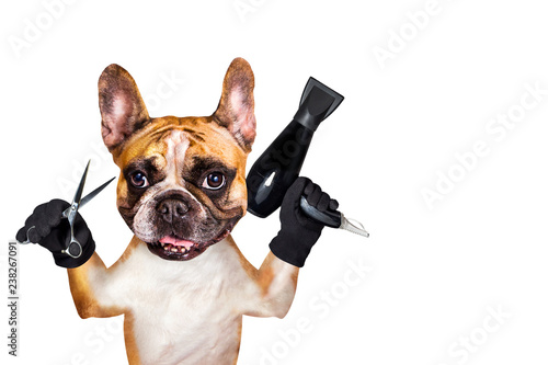 french bulldog on white isolated background keeps hairdressing tools