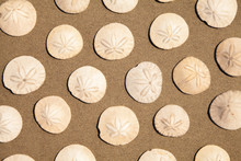Sand Dollars Background