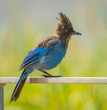 molting blue jay on railing