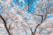 Looking Up At White Fluffy Cherry Blossom Sakura Trees Isolated Against Sky Perspective With Pink Flower Petals In Spring, Springtime Washington DC Or Japan, Branches