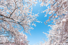 Looking Up, Low Angle View On Fluffy Cherry Blossom Sakura Trees Isolated Against Sky Perspective With Pink Flower Petals In Spring, Springtime Washington DC Or Japan, Branches