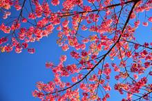 Wild Himalayan Cherry ( Prunus Cerasoides ) ( Sakura In Thailand ).
