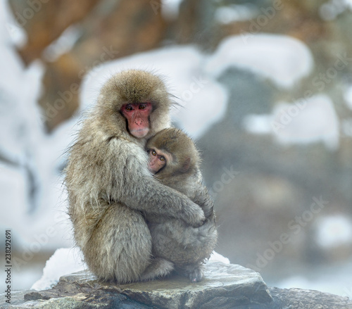 Japanese macaque and cub near the natural hot springs. The Japanese macaque ( Scientific name: Macaca fuscata), also known as the snow monkey. Natural habitat, winter season.