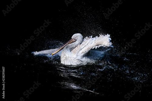 Naklejka premium Duży pelikan z trzepoczącymi skrzydłami i kroplami wody pływającej w czarnej wodzie