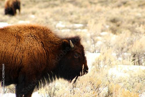 Fotografie, Obraz  Baby Bison