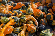 Decorative Squash Gourds Season.