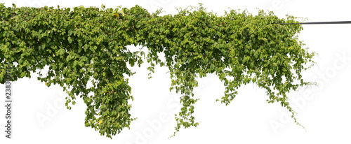 Canvas-taulu vine plant climbing isolated on white background with clipping path included