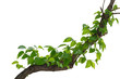 canvas print picture - vine plant climbing isolated on white background with clipping path included.
