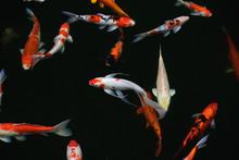 Koi Fish Colorful Fancy A Swim...