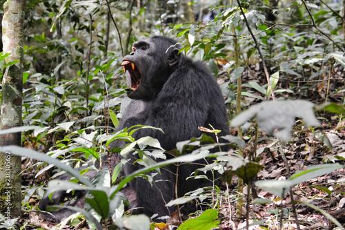 Fotografie, Obraz  Large male chimpanzee showing red ferocious teeth in Kibale National Park Uganda