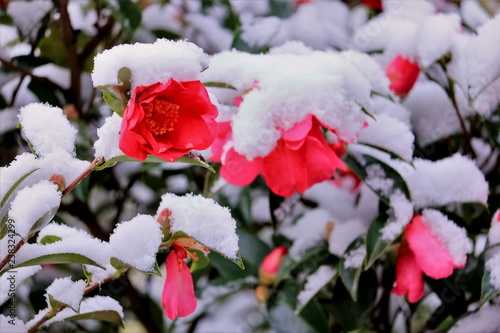 Foto  雪と山茶花