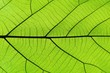 Rich green leaf texture see through symmetry vein structure, natural texture concept