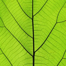 Rich Green Leaf Texture See Through Symmetry Vein Structure, 1:1, Natural Texture Concept
