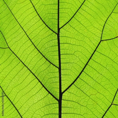 Rich green leaf texture see through symmetry vein structure, 1:1, natural textur Fototapeta
