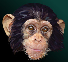 Low Polygon Vector Of Young Chimpanzee Face.