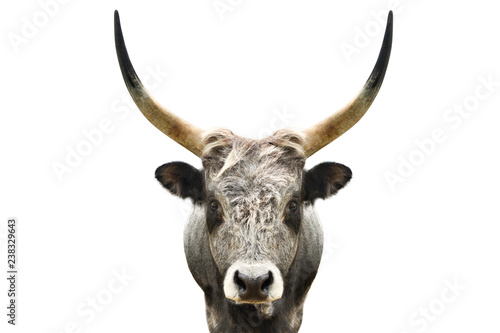 La pose en embrasure Bison Portrait of a wild forest bull isolated on white background