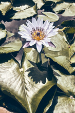 Color Toned Picture Of A Water Lily Blooming, Selective Focus.