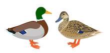 Drake And Hen Ducks Isolated O...