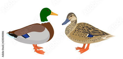 Valokuvatapetti Drake and hen ducks isolated on white background, pair of mallard ducks, vector