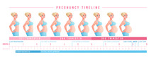 Pregnancy Timeline By Weeks. Isolated Vector Illustration.