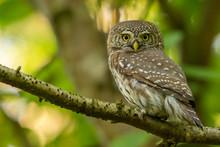 Eurasian Pygmy Owl / Glaucidiu...