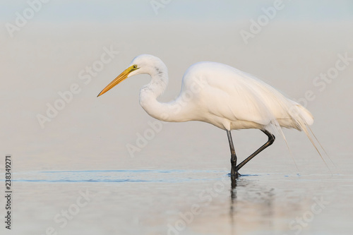 Photo  Great Egret foraging in a shallow pond