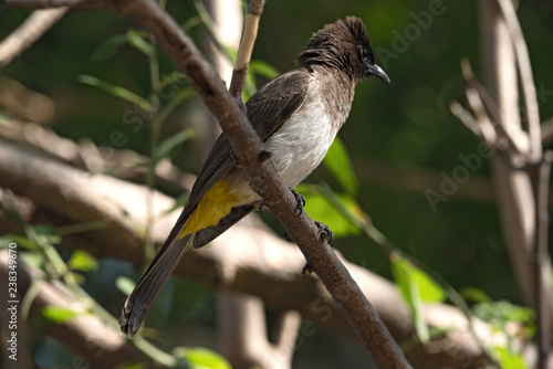 Fényképezés  A dark capped bulbul sits on a tree branch, Botswana