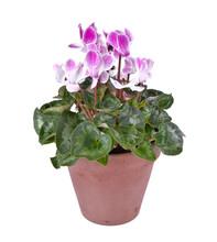Pink Cyclamen In Flowerpot Iso...