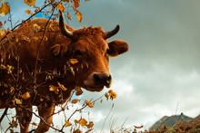 Cow Grazing Near Autumn Bush