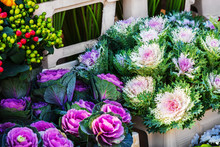 Ornamental Cabbages In A Flowe...