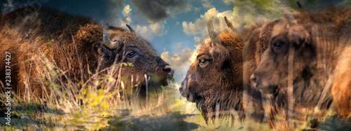 Garden Poster Bison Bison bonasus - European bison - Milovice, Czech republic