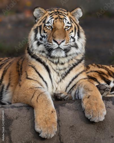 Zamknij się widok tygrysa syberyjskiego (Panthera tigris altaica)