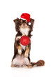 canvas print picture chihuahua dog in Santa hat holding Christmas ball in her mouth
