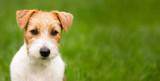 Fototapeta Zwierzęta - Web banner of a happy cute jack russell terrier pet dog puppy