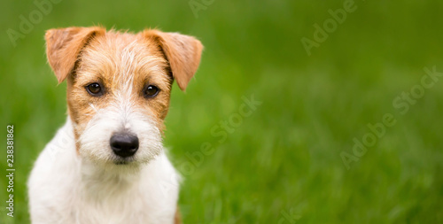 Fotografie, Obraz  Web banner of a happy cute jack russell terrier pet dog puppy