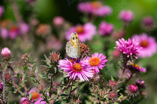 Valokuva  Wall Brown Butterfly on New England Aster Flowers