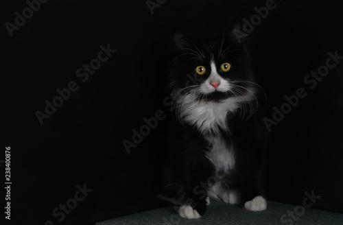 Fotografie, Obraz  sevimli kedi yavrusu