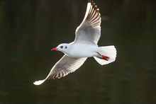 Seagull Soaring Over Hartsholm...