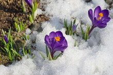 Blooming Purple Crocuses In The Snow