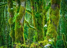 Mossy Trees In Winter