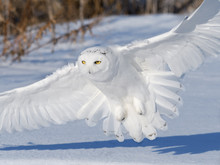Male Snowy Owl Landing On Snow Field In Winter