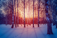 Winter Landscape In The White Birches Forest At Sunrise Or Sunset. Long Blue Shadows On The Pink Snow.