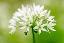 Flowering Ramson, Allium Ursin...