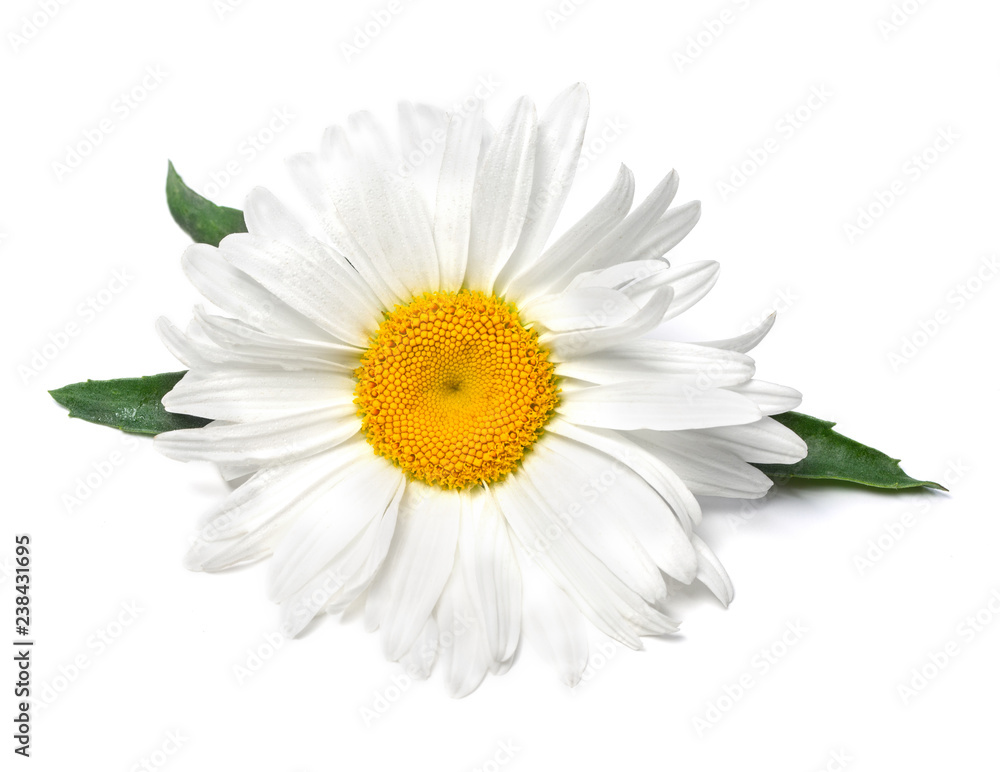 Fototapety, obrazy: Beautiful chamomile flower