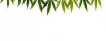 Green Hemp, Ganja Leaf On White Isolated Background. Cannabis Leaves, Marijuana. Top View, Photo Wallpaper Close Up